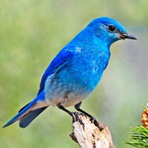 El pájaro de los 280 caracteres es un Sialia Currucoides.